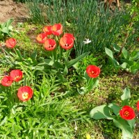 тюльпаны :: Люша