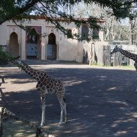 Жирафы :: Любовь Бутакова