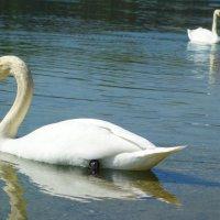 ...Эти птицы – символ верности.... :: Galina Dzubina