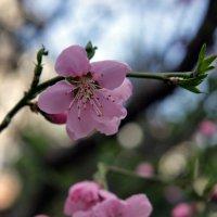 Нежная весна :: Виолетта