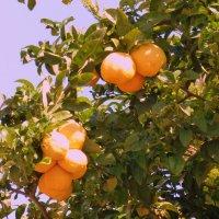 цитрусовые плоды. :: Пётр Беркун
