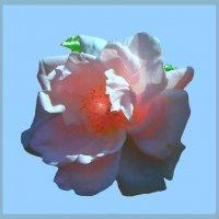 Утренняя роза 2 по фото Виктора Елисеева :: Владимир Хатмулин