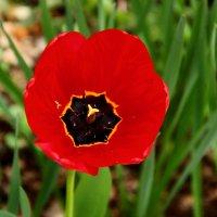 Тюльпаны в ботаническом саду :: Светлана