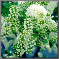 черёмухи  цвет. :: Ivana