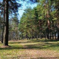 Весна в лесу :: Милешкин Владимир Алексеевич