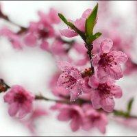Соцветие персика :: Александр Л......