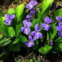 Про цветы весенние :: Natali