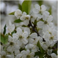 Сады цветут :: Сергей