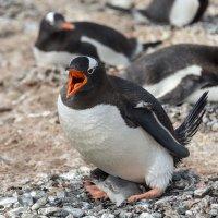 Пингвин с птенцом в гнезде :: Alexey alexeyseafarer@gmail.com