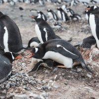 Пингвины общаются :: Alexey alexeyseafarer@gmail.com