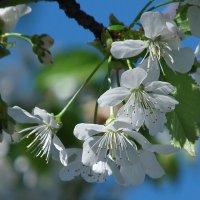 Черешня цветет! :: Наталья