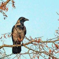 Серая ворона :: Artūras