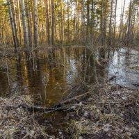 В лесу. :: Бронислав Богачевский
