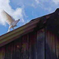 Ты лети-лети,голубка :: Елена Фалилеева-Диомидова
