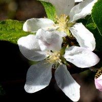 Цветок и бутон яблони :: Асылбек Айманов
