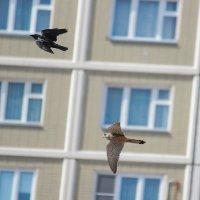 Пустельга vs Ворона :: Елена Шел