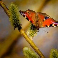 Бабочка :: Марк