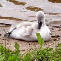 Лебедёнок :: Наталия Короткова