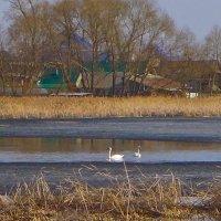 Лебеди прилетели.... :: Светлана Игнатьева
