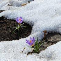 Первоцветы в саду :: Галина Galina