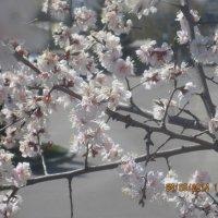 Вишни цветут :: Tatyana Kuchina