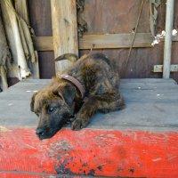 усталый пёс :: Света Кондрашова