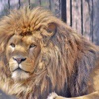 А я царь.....царь зверей :: galina tihonova