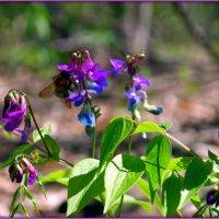 Цветёт сочевичник весенний :: Андрей Заломленков