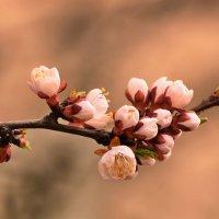 Весеннее цветение абрикоса :: Paparazzi