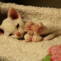 Вот такие лапки у белого котенка девон-рекс :: Галина Приемышева