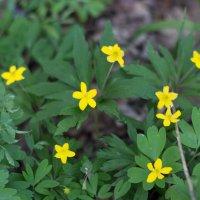 лесные цветы :: Ирина Холодная