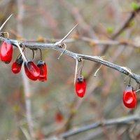 Шипы и ягоды барбариса в апреле :: Милешкин Владимир Алексеевич