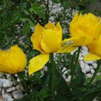 ...Тюльпаны…  Мелодия желтого света.... :: Galina Dzubina