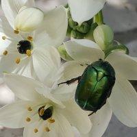 Зеленый жук :: Ирина