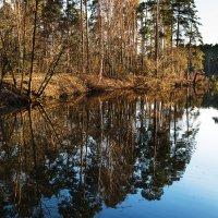 Сосновый бор в вечернем свете :: Ирина Климова