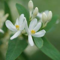 Цветы жимолости :: Balakhnina Irina
