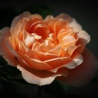 Загадочная роза :: Swetlana V