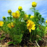 Жаркий цвет горицветов :: Андрей Заломленков