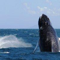 горбатый кит :: Станислава Боо