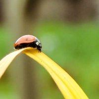 Ladybug :: Katerina Sheglova