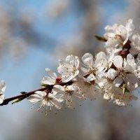 Весны цветение :: Dr. Olver  ( ОлегЪ )