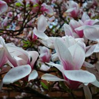 Цветёт магнолия... :: Galina Dzubina