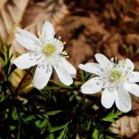 Первые цветы :: Natalia Babukh