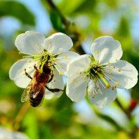Нектар с цветков :: Виктор Шандыбин