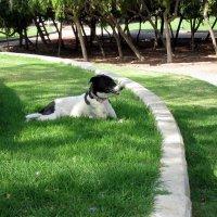 Полуденный отдых собаки :: Герович Лилия