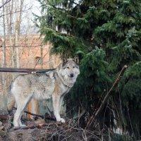 Волчица :: Oksana K