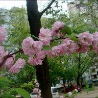 Розовая мечта :: Нина Корешкова