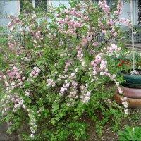 Розовая весна из соседнего двора :: Нина Корешкова