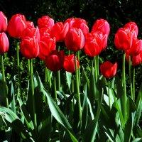 Тюльпаны :: Alexander Andronik