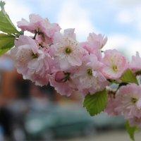 Как пышно сакура цветет. И от неё благоуханье разлито в небесах, как мед. :: Валентина ツ ღ✿ღ